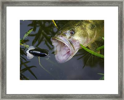 Bass Attacking Jitterbug Framed Print