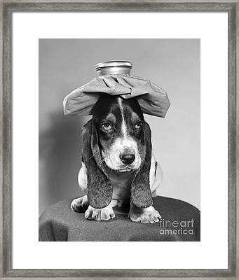 Basset Hound With Ice Pack Framed Print by D. Corson/ClassicStock