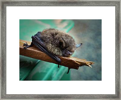 Framed Print featuring the photograph Bat Rehoused by Jean Noren