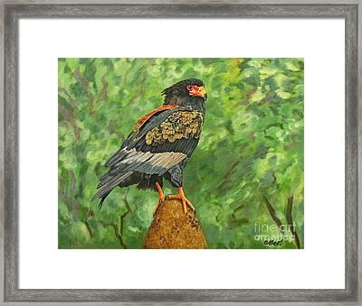 Bataleur Eagle Framed Print by Caroline Street