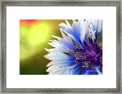 Batchelors Blue And White Button Framed Print