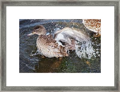 Bathing Duck Framed Print