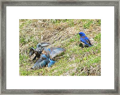 Battle For His Attention Framed Print by Mike Dawson