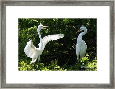 Battle Of The Egrets Framed Print