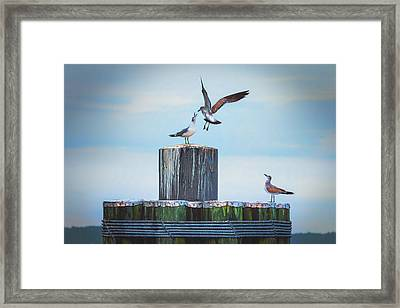 Framed Print featuring the photograph Battle Of The Gulls by Cindy Lark Hartman