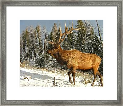 Battle Weary Bull Framed Print