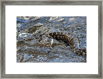 Battling The Fox Snake Framed Print by Laura Birr Brown