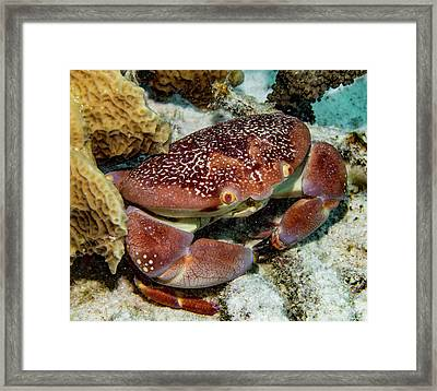 Batwing Coral Crab Framed Print by Jean Noren