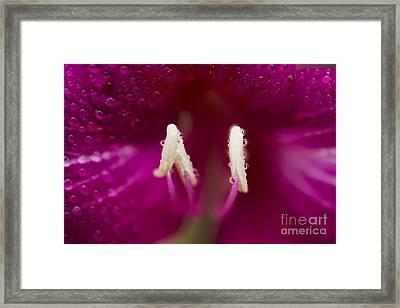 Bauhinia Blakeana Hawaiian Orchid Tree Floral Macro Framed Print