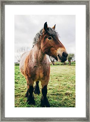 Bay Draft Horse In A Field Framed Print by Pati Photography