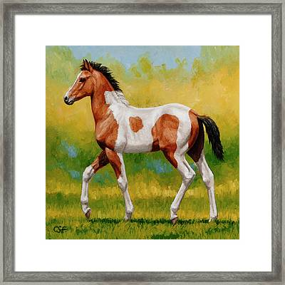 Bay Pinto Foal Framed Print by Crista Forest