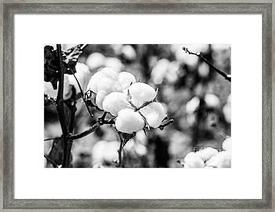 Bayou State Cotton - Bw Framed Print