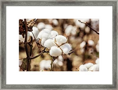 Bayou State Cotton Framed Print