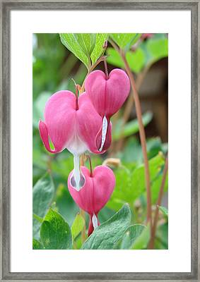 Framed Print featuring the photograph Be Still My Little Bleeding Heart by Margaret Bobb
