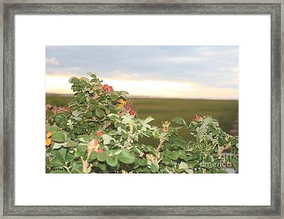 Beach Plums Framed Print by Amy Holmes