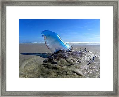 Beached Jellyfish  Framed Print by Chris Mercer