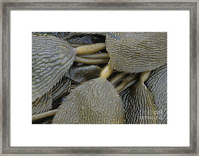 Beached Kelp Framed Print by Tim Grams