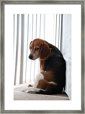 Beagle Attitude Framed Print by Jennifer Ancker