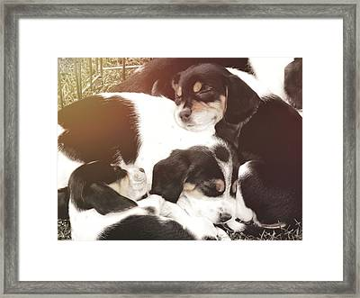 Beagle Pile Framed Print by JAMART Photography