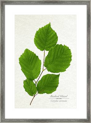 Beaked Hazel Framed Print by Christina Rollo