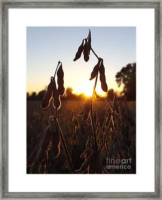 Beans At Sunset Framed Print