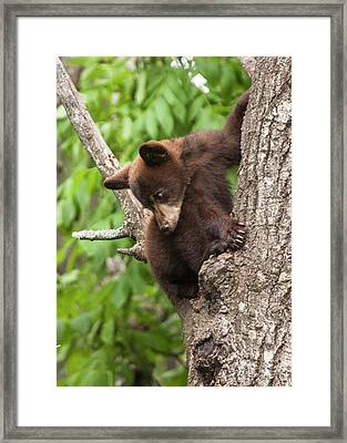 Bear Cub In A Tree Looking Down Framed Print