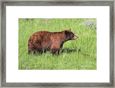 Framed Print featuring the photograph Bear Eating Daisies by Jemmy Archer