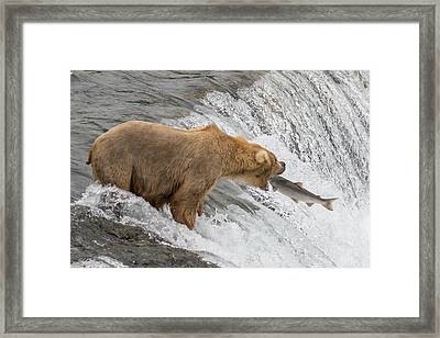 Bear Fishing At Brooks Falls Framed Print
