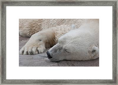 Bear Nap Framed Print by Cindy Haggerty