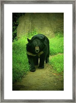 Bear On The Prowl Framed Print by Trish Tritz