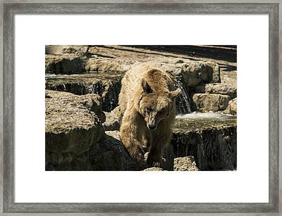 Bear Framed Print by Paulo Goncalves