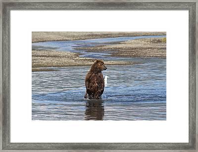 Bear Standing In River Framed Print by David Wilkinson
