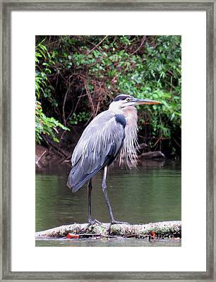 Bearded Blue Heron Framed Print