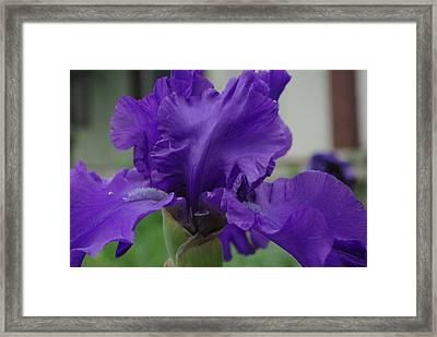Bearded Blue Iris Framed Print by Robyn Stacey