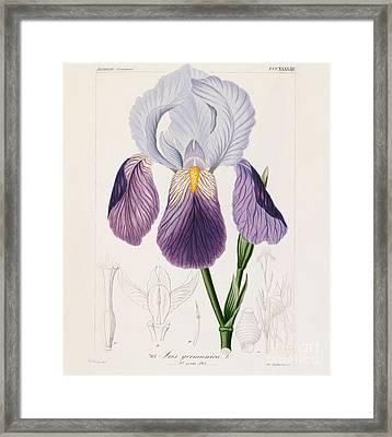 Bearded Iris Framed Print by German School