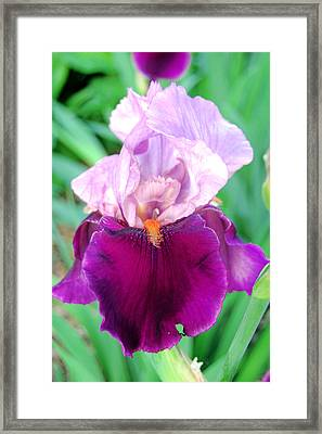 Bearded Iris In Violet Framed Print by Jame Hayes