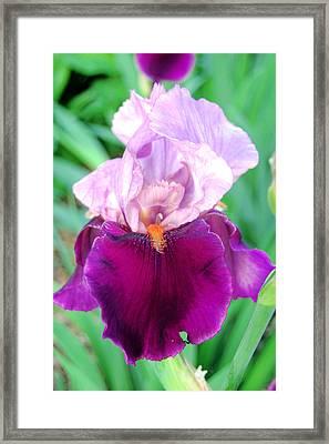Bearded Iris In Violet Framed Print