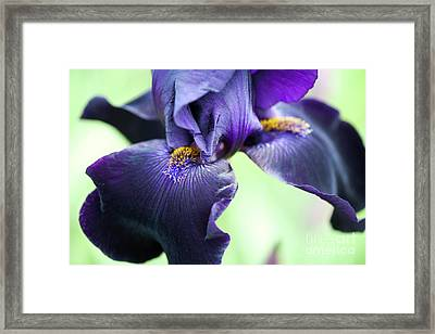 Bearded Iris Interpol Flower Framed Print by Tim Gainey