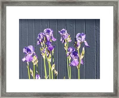 Bearded Iris  Framed Print by Laurie Kidd
