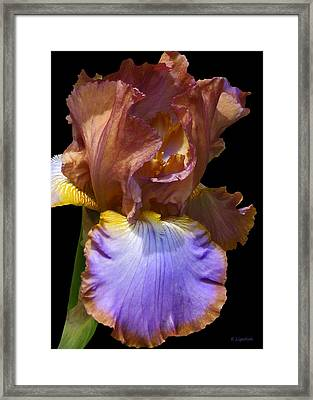 Framed Print featuring the photograph Bearded Iris With Black Background by Kerri Ligatich