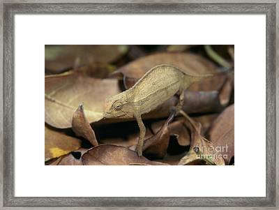 Bearded Leaf Chameleon Framed Print by Ingo Arndt