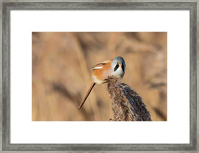 Bearded Reedling Framed Print