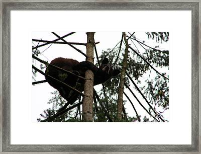 Bearly Hanging On Framed Print by Nick Gustafson
