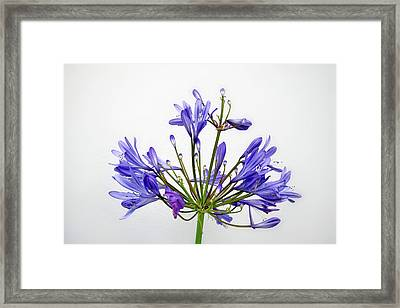 Beautiful Agapanthus Flower - The Blue Trumpets Are Perfectly Lit By Natural Daylight Framed Print
