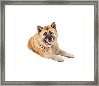 Beautiful Akita Dog Laying Framed Print by Susan Schmitz