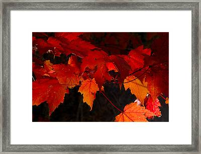 Beautiful Backlit Autumn Maple Leaves Framed Print by Darrell Young