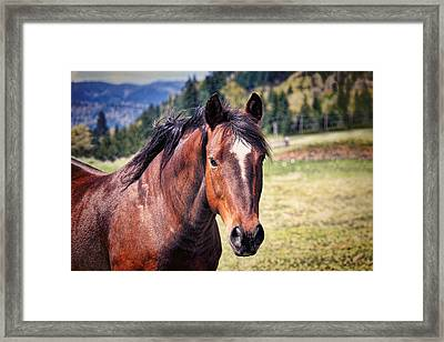 Beautiful Bay Horse In Pasture Framed Print by Tracie Kaska