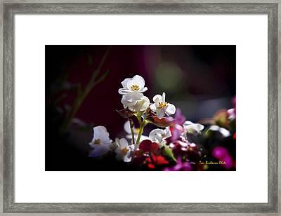 Beautiful Begonia Framed Print