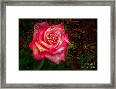 Beautiful Bicolor Rose Framed Print