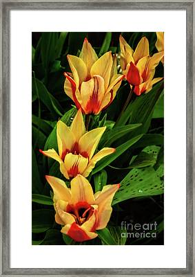 Framed Print featuring the photograph Beautiful Bicolor Tulips by Robert Bales
